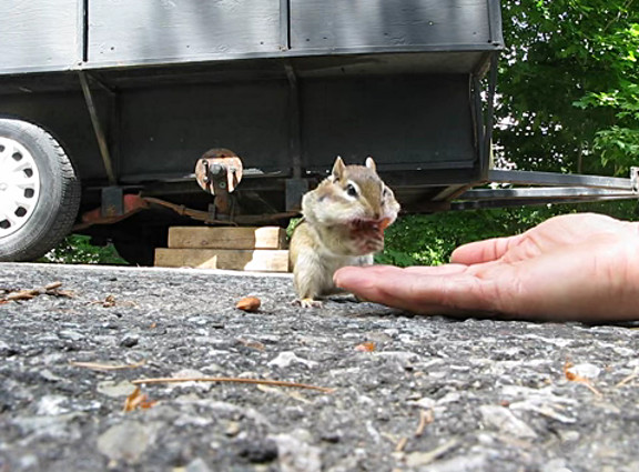 Adorable chipmunk stuffs cheeks with almonds - YouTube (3)