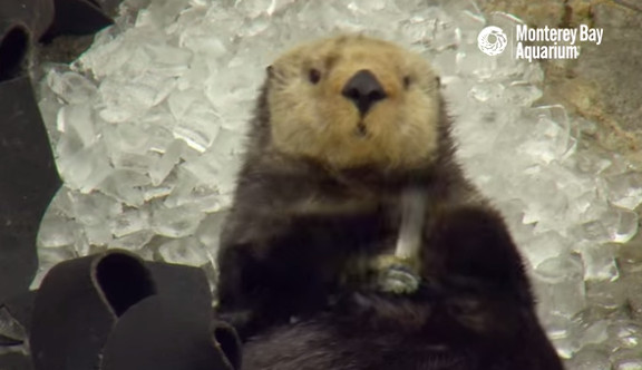 Otter in Ice Cubes  A Monterey Bay Snow Day! - YouTube (1)