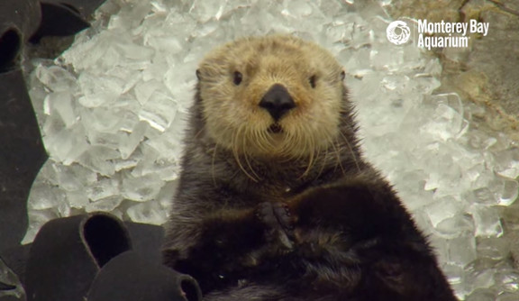 Otter in Ice Cubes  A Monterey Bay Snow Day! - YouTube (2)