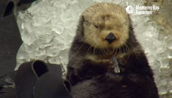 Otter in Ice Cubes  A Monterey Bay Snow Day! - YouTube