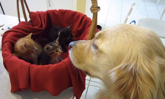 3匹の仔猫(ミートエベレスト・テイラー・ダッシュ)の親代わりになったのは、1匹のゴールデンレトリバー。 まるで本当の親子のように、あたたかい眼差しで仔猫達を