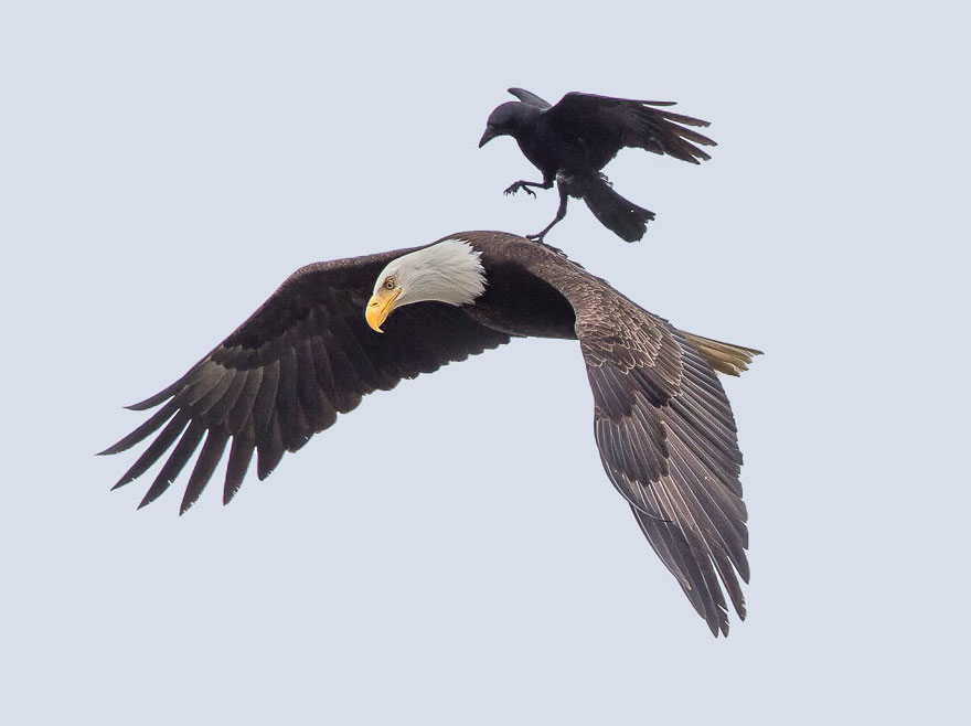 crow-rides-eagle-bird-photography-phoo-chan-1