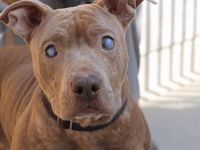 abandoned-blind-pit-bull-poly-rescued-2