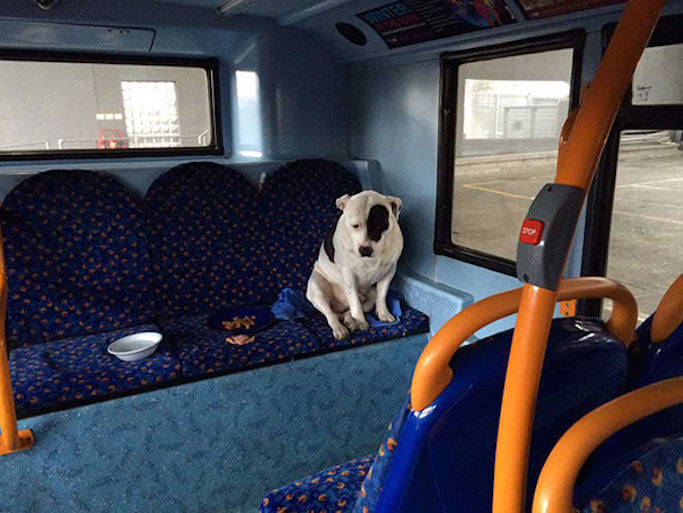 abandoned-dog-bus-buster-staffordshire-bull-terrier-london-3