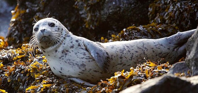 whzcXTPvff83d6b65f01df7dda2-3664666-FILE_In_this_Oct_12_2011_file_photo_a_harbor_seal_pup_rests_on_s-a-2_1467382743158