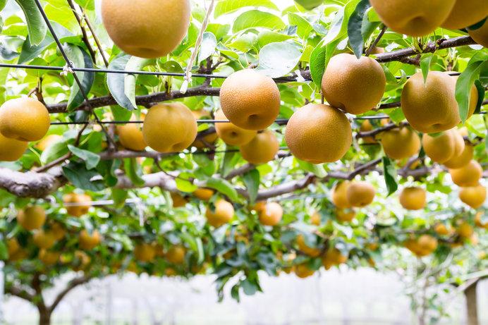 今年は小ぶりながら甘~い梨ができました♪ ※画像はイメージ